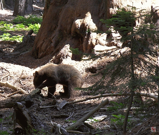 Bear, Sequoia, California
