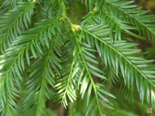 Redwood Tree, closeup of leaves