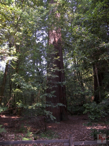 Redwood Tree, Bottom of tallest tree, Tallest Redwood