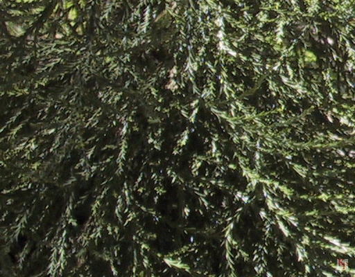 Giant Sequoia Tree, closeup of Leaves